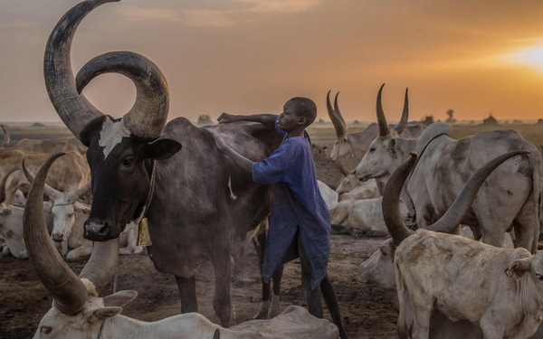 Trải nghiệm cuộc sống chăn bò của người Dinka ở Nam Sudan