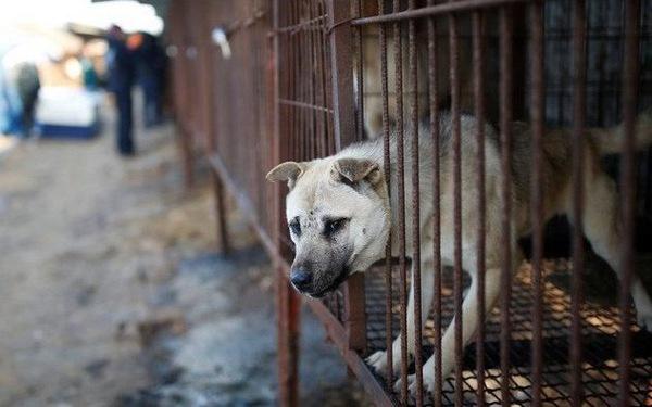Hàn Quốc muốn chấm dứt nuôi chó giết thịt