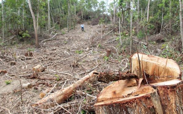 Bắt giám đốc công ty lâm nghiệp thiếu trách nhiệm để mất rừng tràn lan