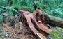 'Chảy máu' rừng đặc dụng Cham Chu - 'Cụ' nghiến nghìn năm tuổi bị xẻ thịt