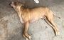 Vụ chó cắn chết người ngay tại chỗ: chủ của chó có bị xử lý trách nhiệm hình sự?